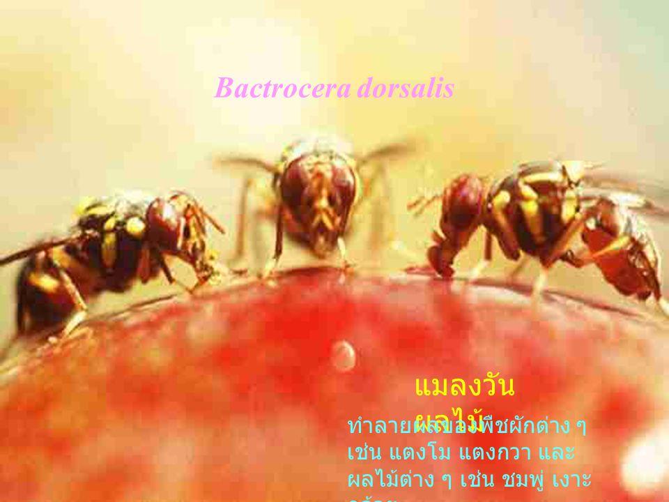 Bactrocera dorsalis แมลงวันผลไม้