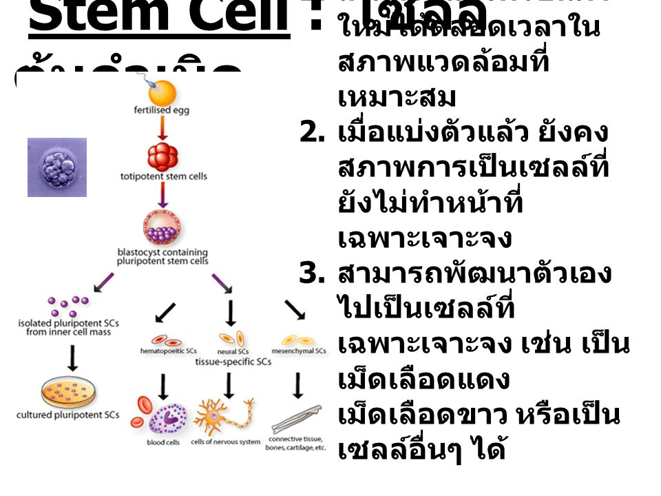 Stem Cell : เซลล์ต้นกำเนิด