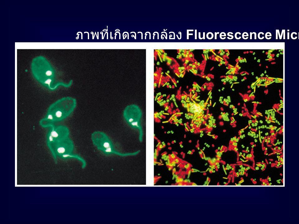 ภาพที่เกิดจากกล้อง Fluorescence Microscope