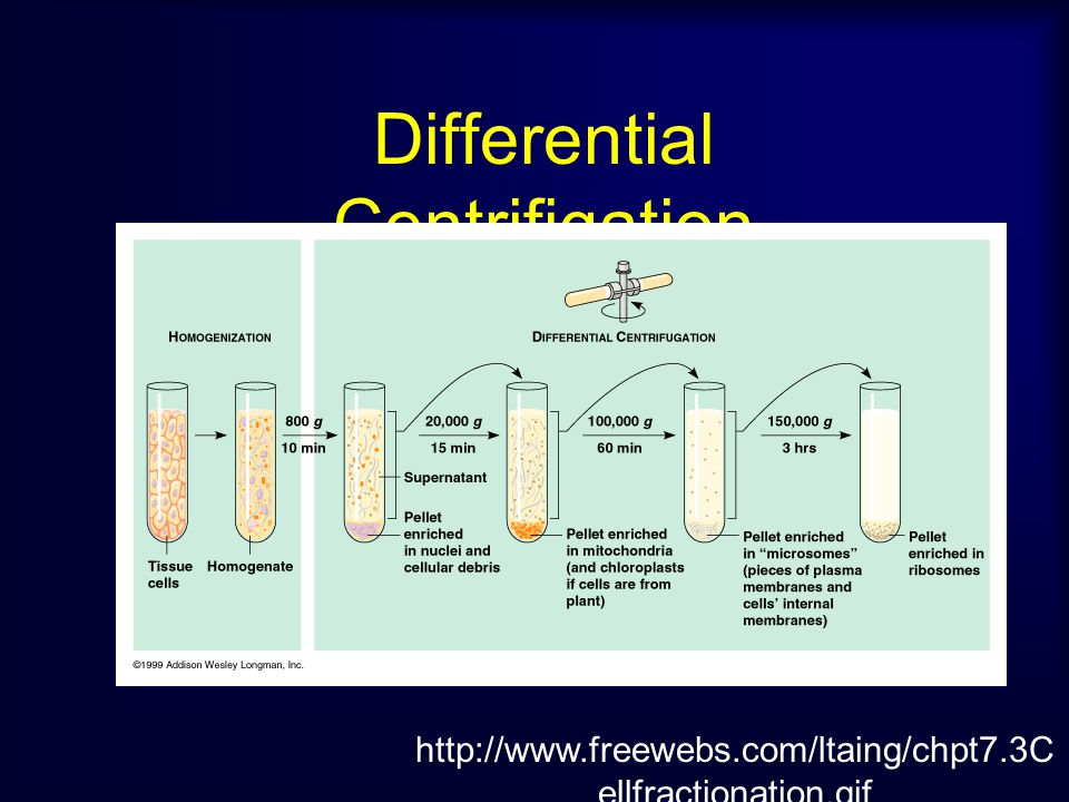 Differential Centrifigation
