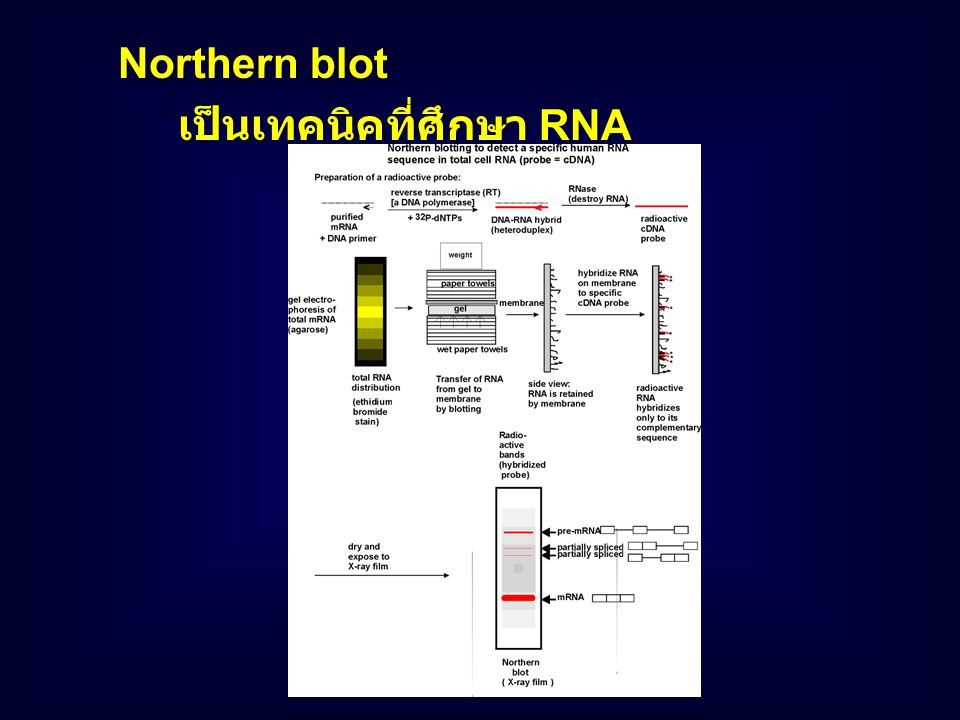 Northern blot เป็นเทคนิคที่ศึกษา RNA
