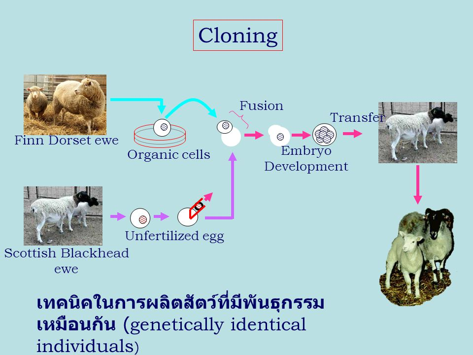 Cloning เทคนิคในการผลิตสัตว์ที่มีพันธุกรรมเหมือนกัน (genetically identical individuals) Unfertilized egg.