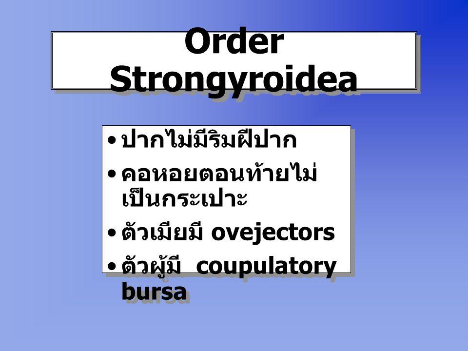 Order Strongyroidea ปากไม่มีริมฝีปาก คอหอยตอนท้ายไม่เป็นกระเปาะ