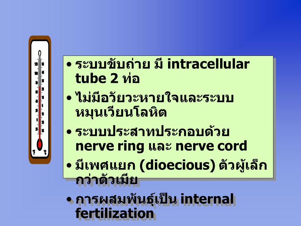 ระบบขับถ่าย มี intracellular tube 2 ท่อ