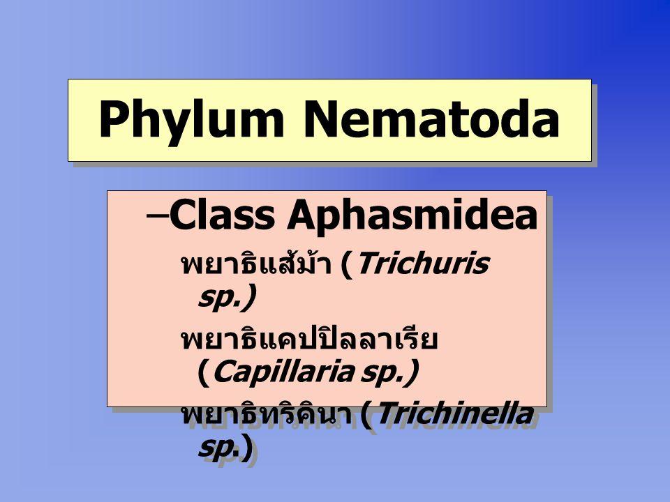 Phylum Nematoda Class Aphasmidea พยาธิแส้ม้า (Trichuris sp.)