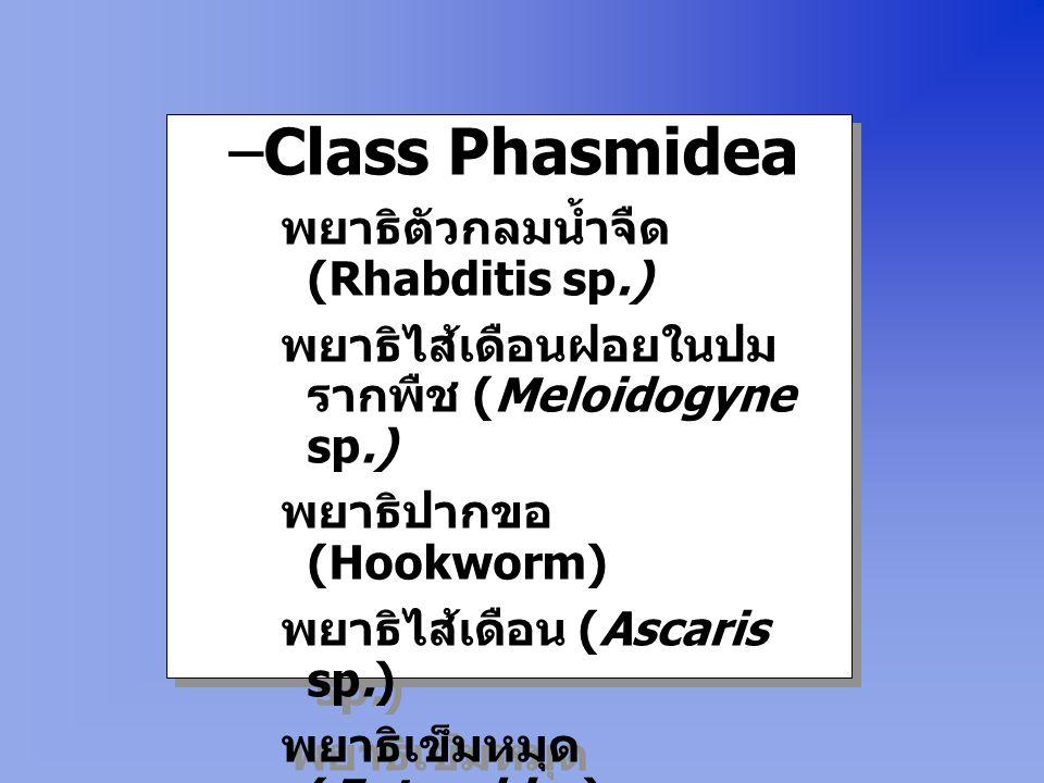Class Phasmidea พยาธิตัวกลมน้ำจืด (Rhabditis sp.)