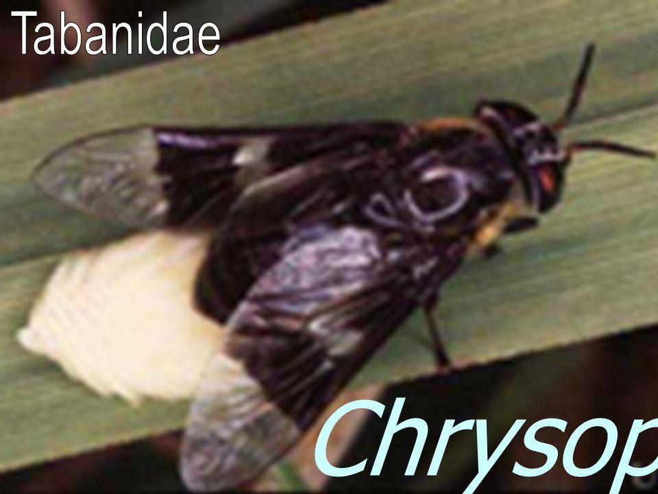 Tabanidae Chrysops sp.