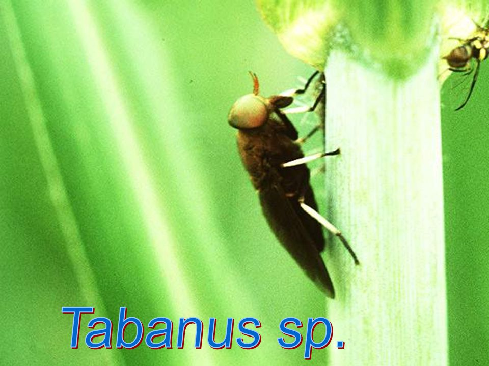Tabanus sp.