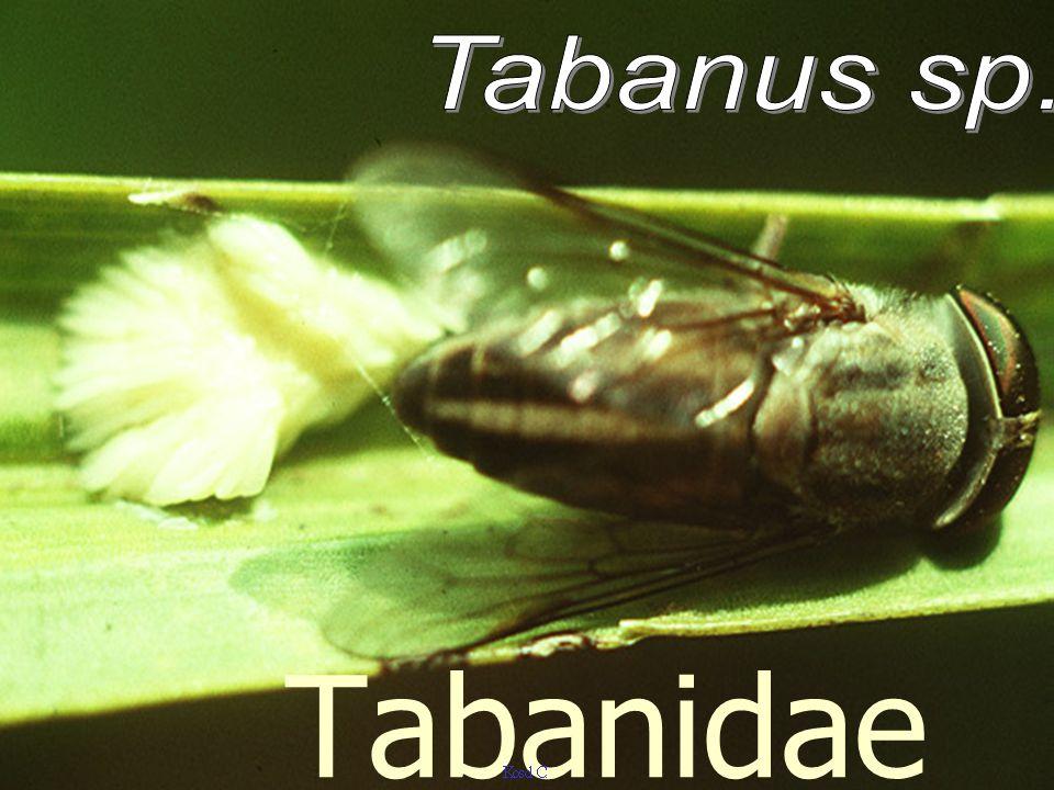 Tabanus sp. Tabanidae
