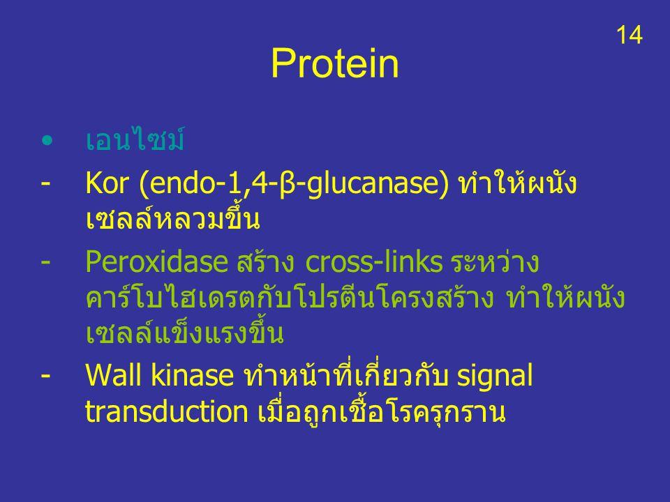 Protein เอนไซม์ Kor (endo-1,4-β-glucanase) ทำให้ผนังเซลล์หลวมขึ้น