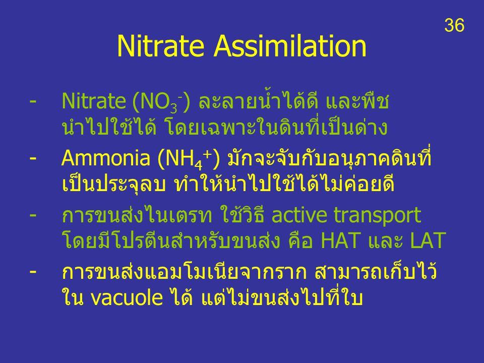 36 Nitrate Assimilation. Nitrate (NO3-) ละลายน้ำได้ดี และพืชนำไปใช้ได้ โดยเฉพาะในดินที่เป็นด่าง.