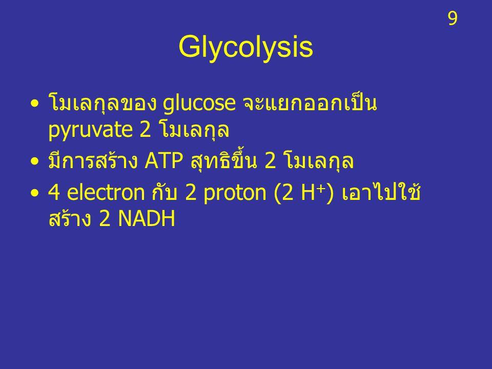 Glycolysis โมเลกุลของ glucose จะแยกออกเป็น pyruvate 2 โมเลกุล