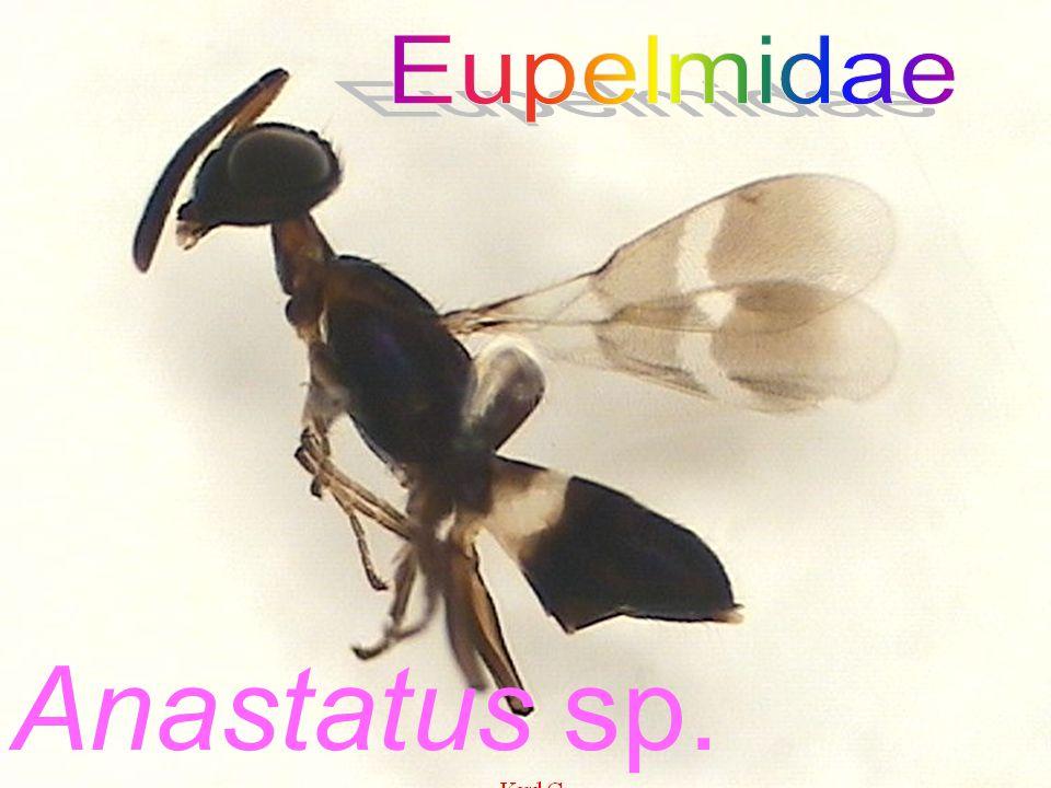 Anastatus sp. (Female) ex Tessaratoma sp.