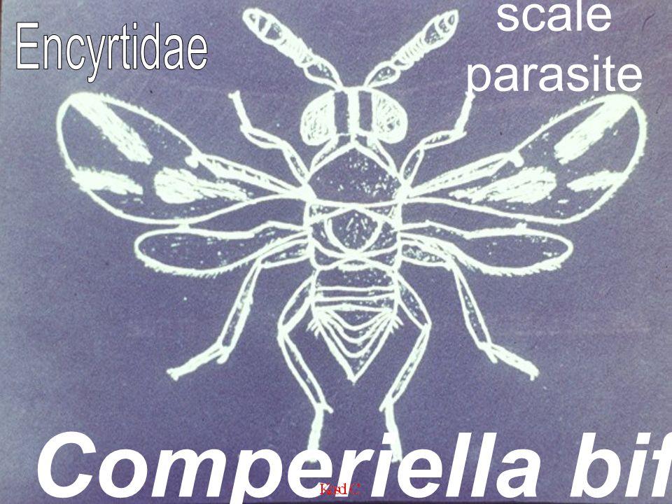Comperiella bifasciata