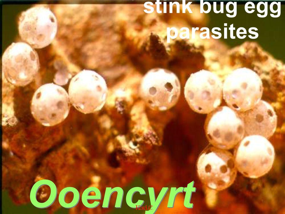 stink bug egg parasites