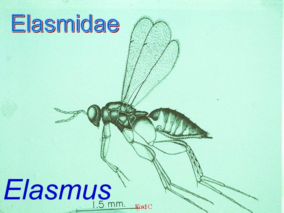 Elasmidae Elasmus sp.