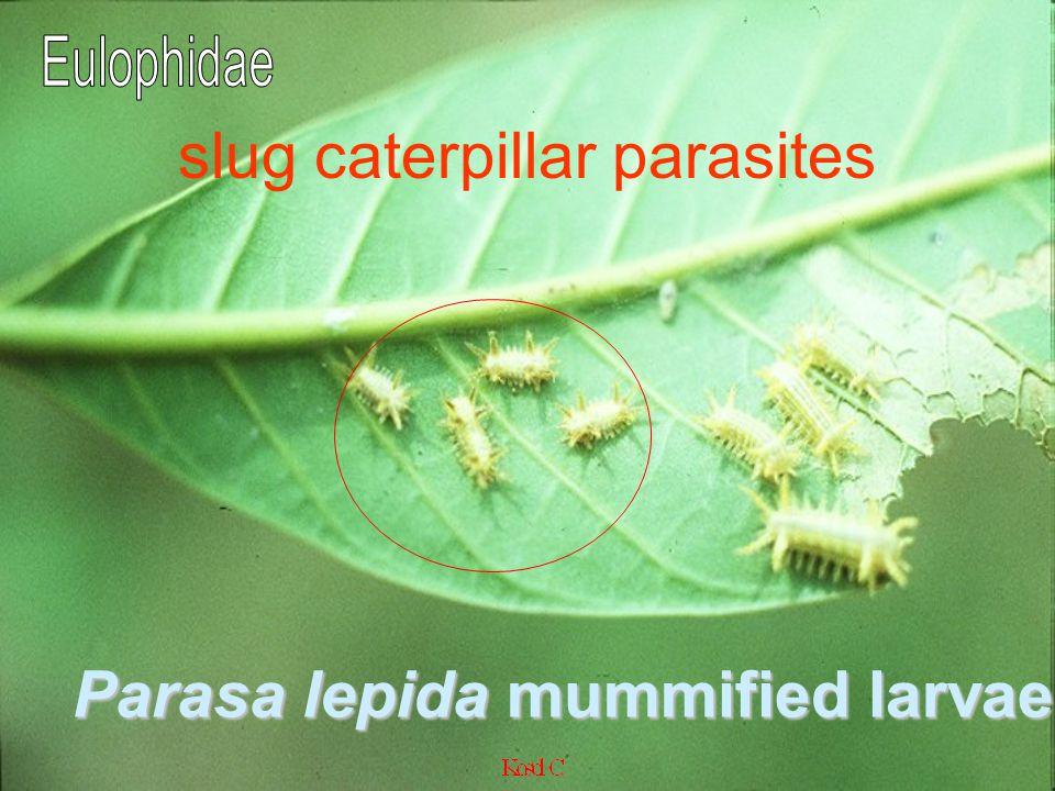 slug caterpillar parasites