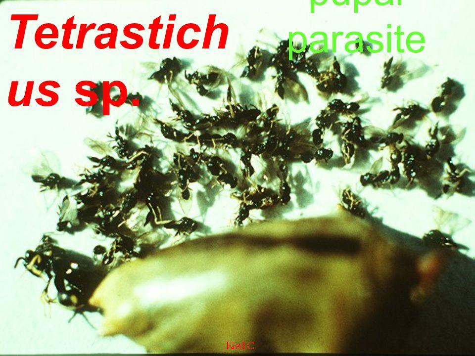 pupal parasite Tetrastichus sp.