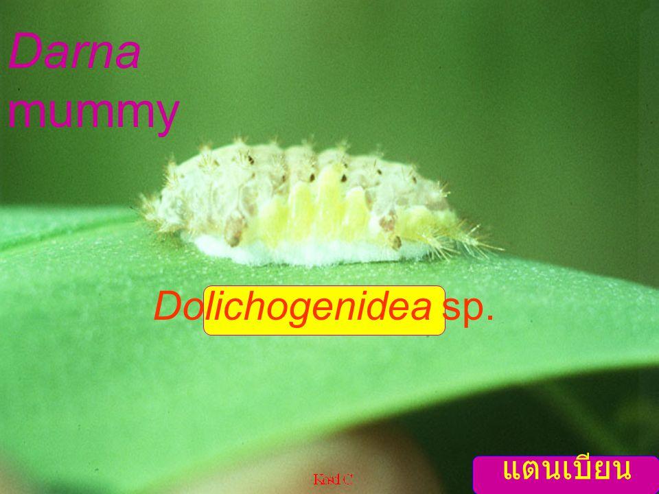 Darna mummy Dolichogenidea sp. แตนเบียนหนอน