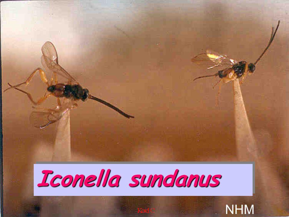 Iconella sundanus NHM