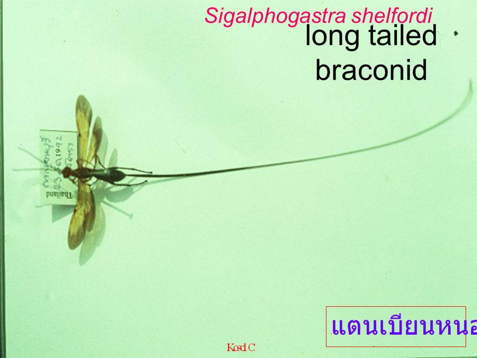Sigalphogastra shelfordi