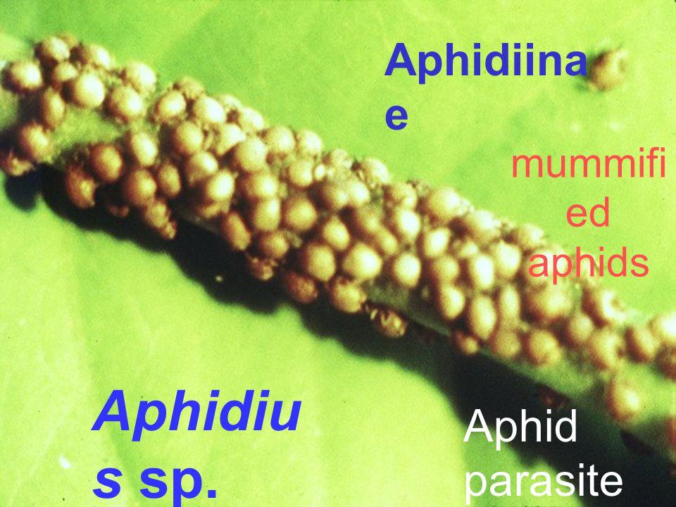 Aphidiinae mummified aphids Aphidius sp. Aphid parasite