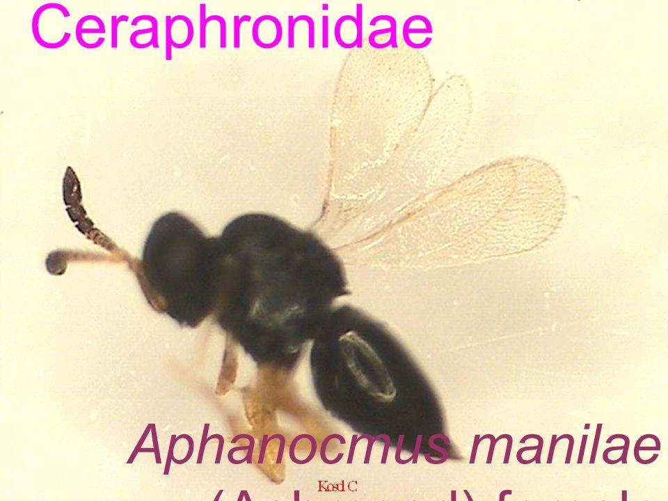 Aphanocmus manilae (Ashmead) female