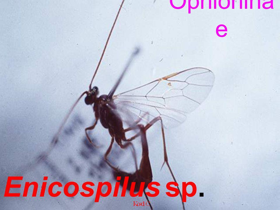 Ophioninae Enicospilus sp. .