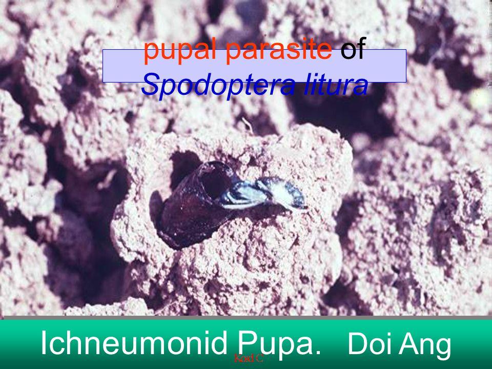 pupal parasite of Spodoptera litura