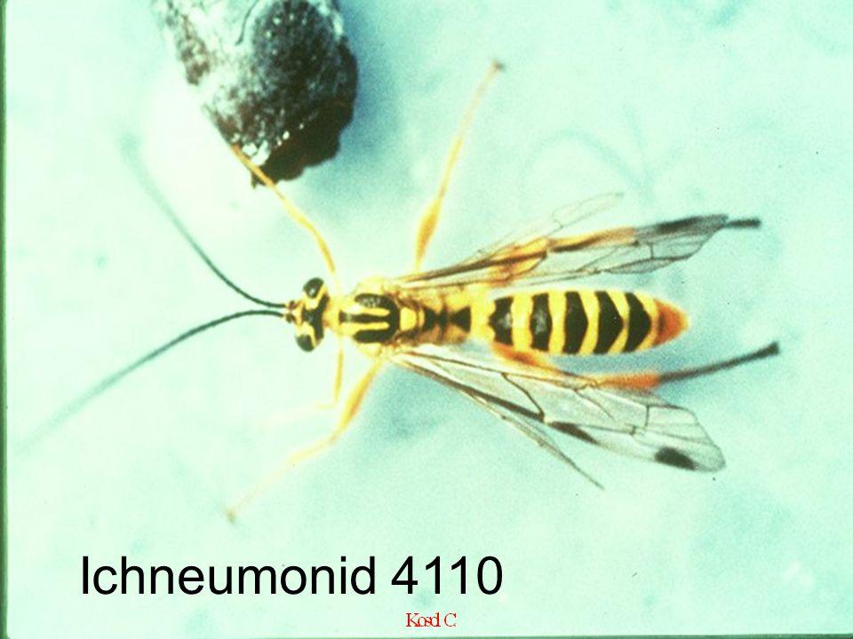 Ichneumonid 4110