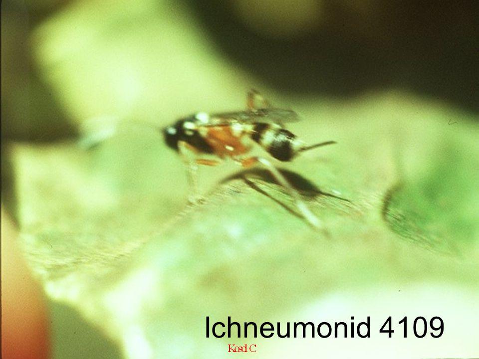 Ichneumonid 4109