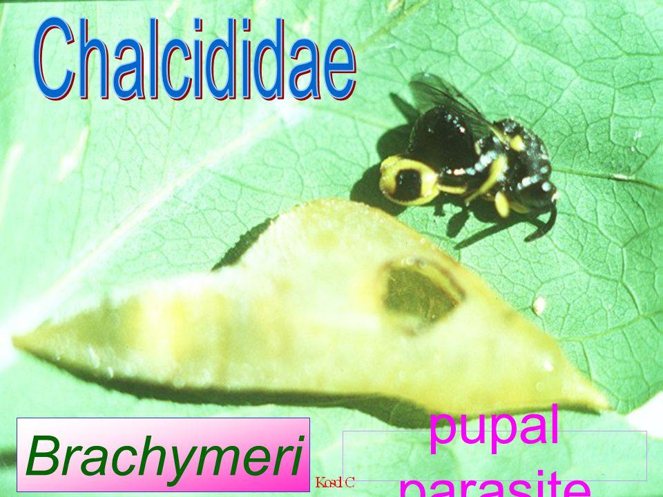 Chalcididae Brachymeria sp. pupal parasite