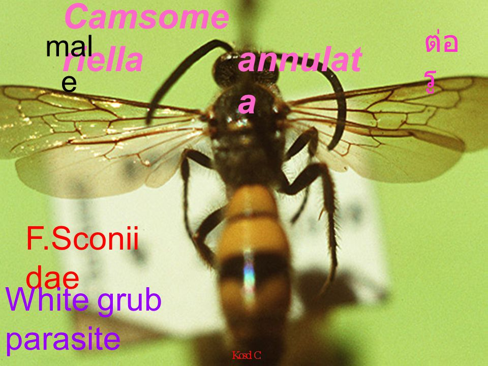 Camsomeriella annulata ต่อรู male F.Sconiidae White grub parasite