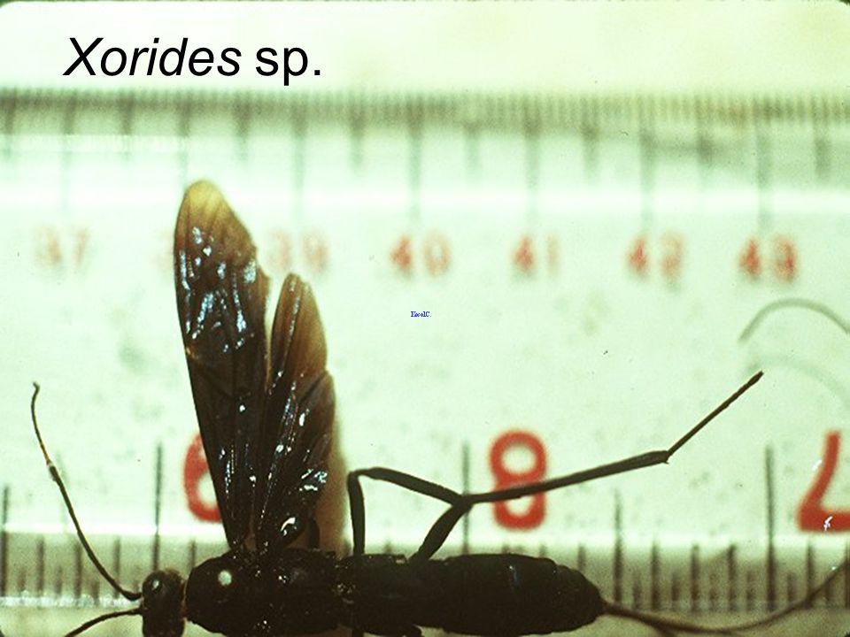 Xorides sp.
