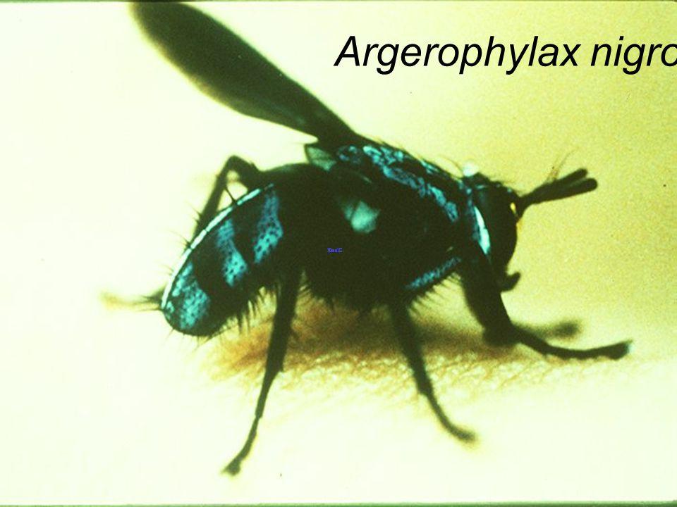 Argerophylax nigrotibialis