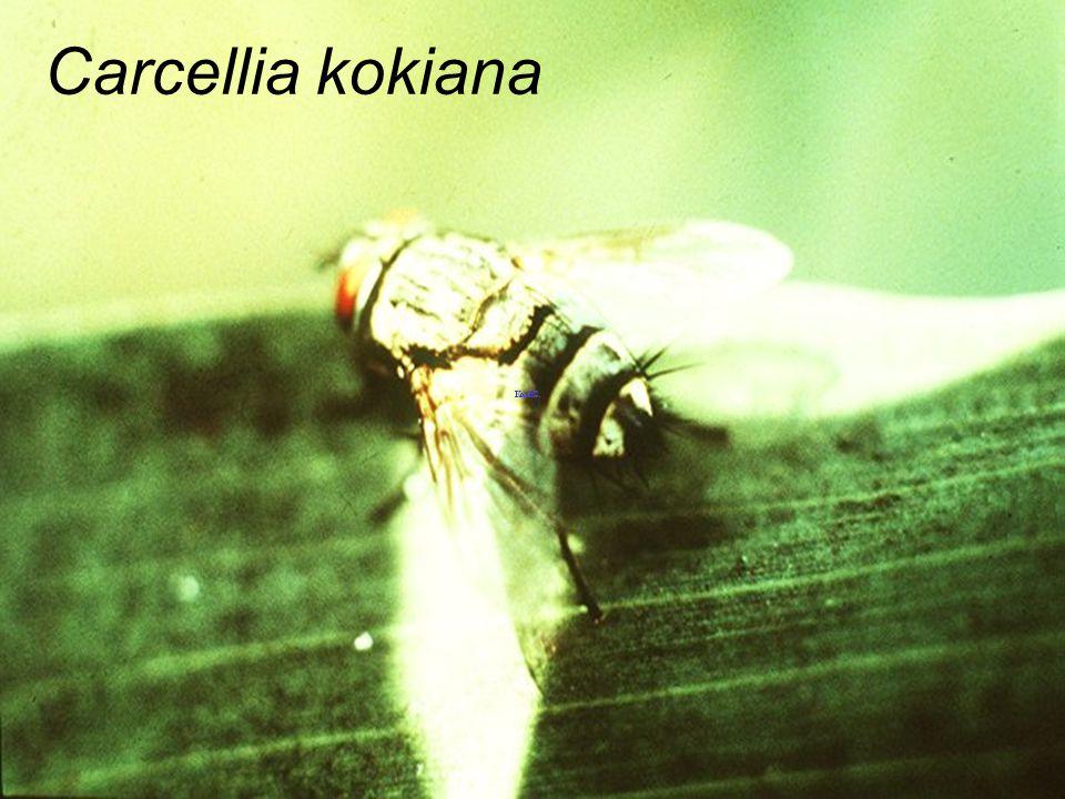 Carcellia kokiana