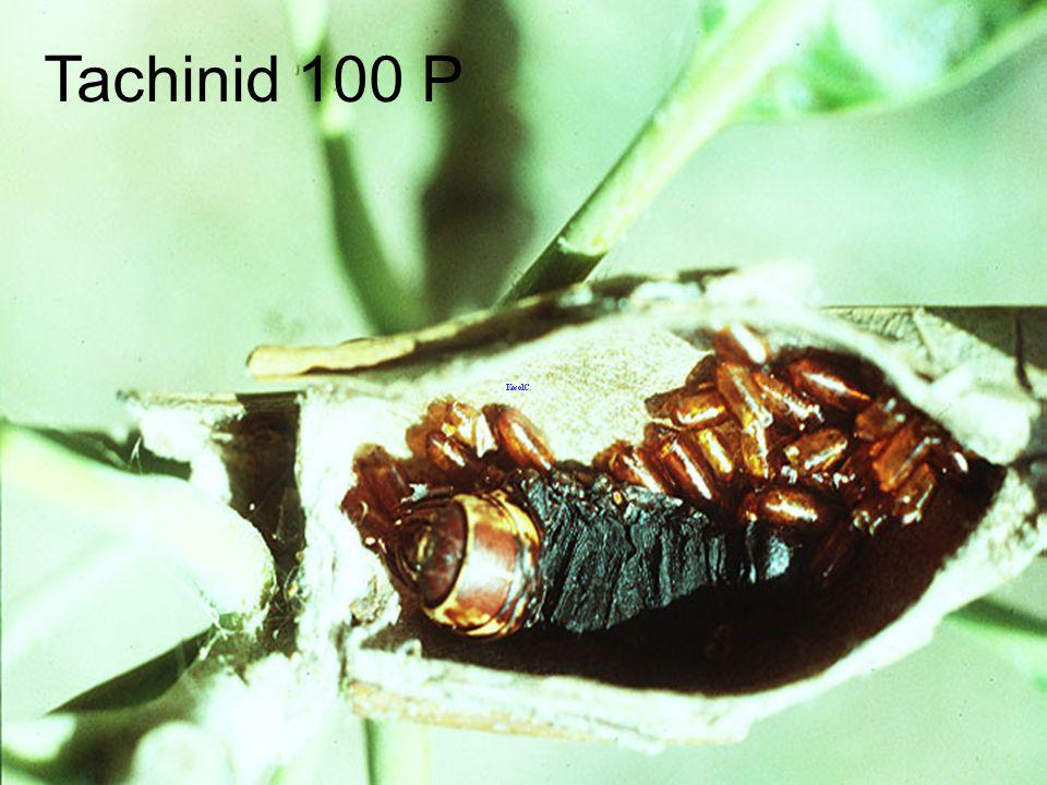 Tachinid 100 P
