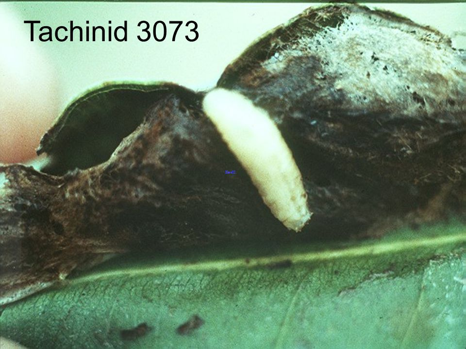 Tachinid 3073