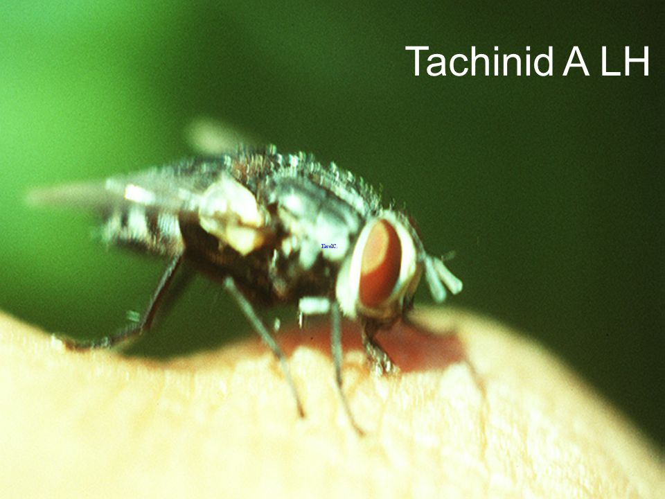 Tachinid A LH