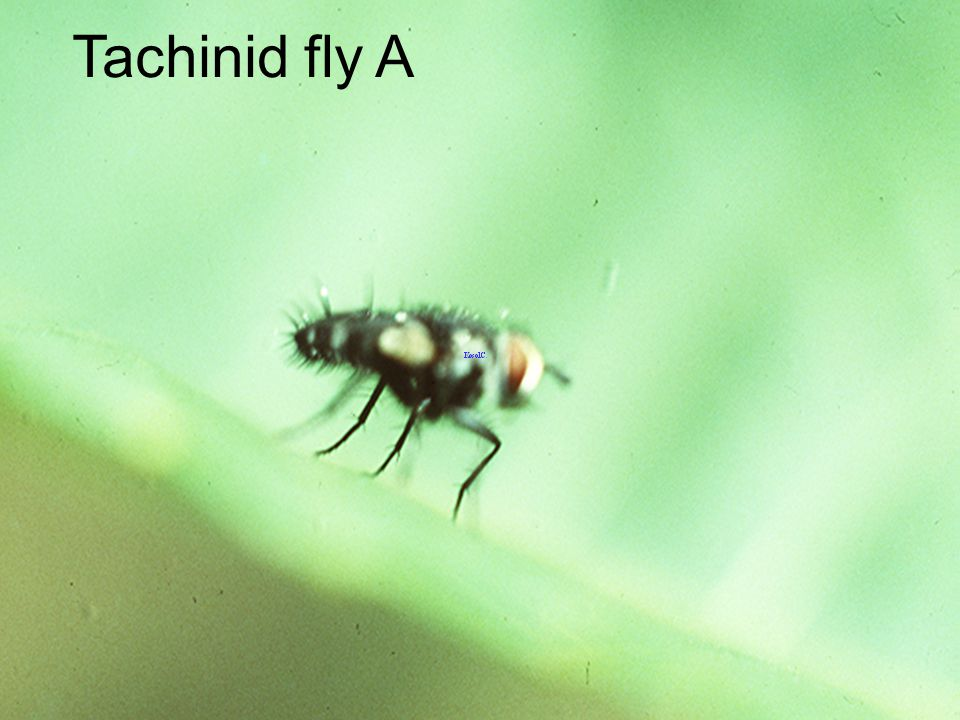 Tachinid fly A