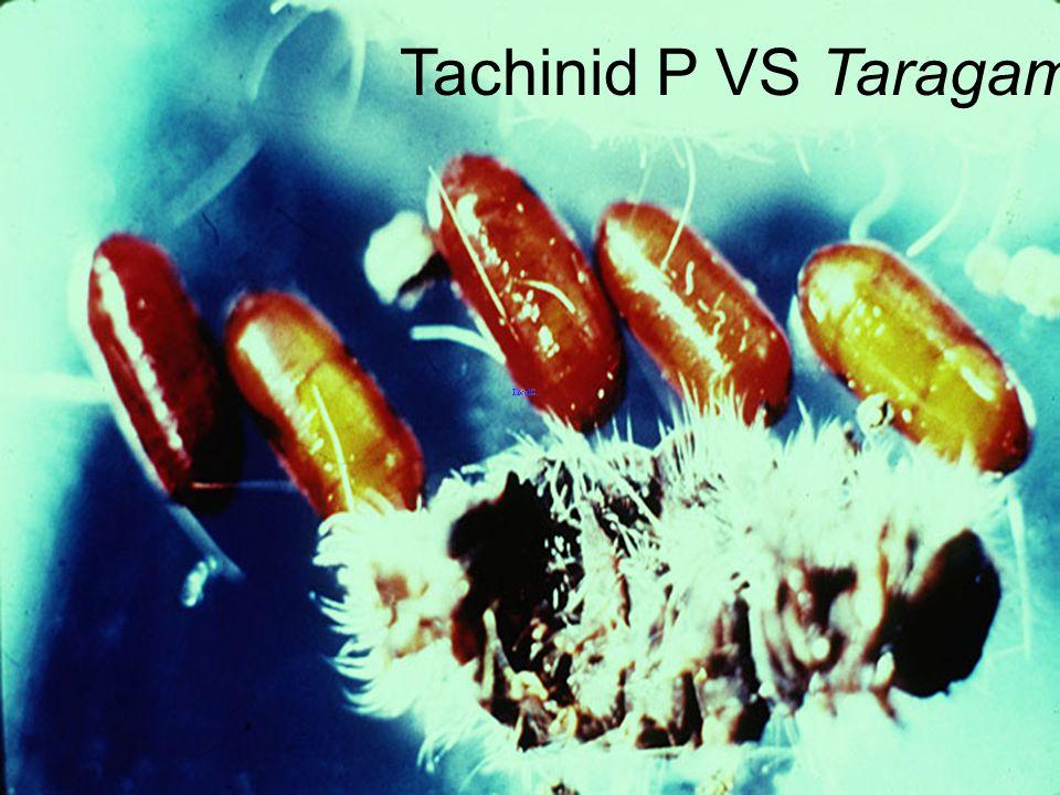Tachinid P VS Taragama dorsalis