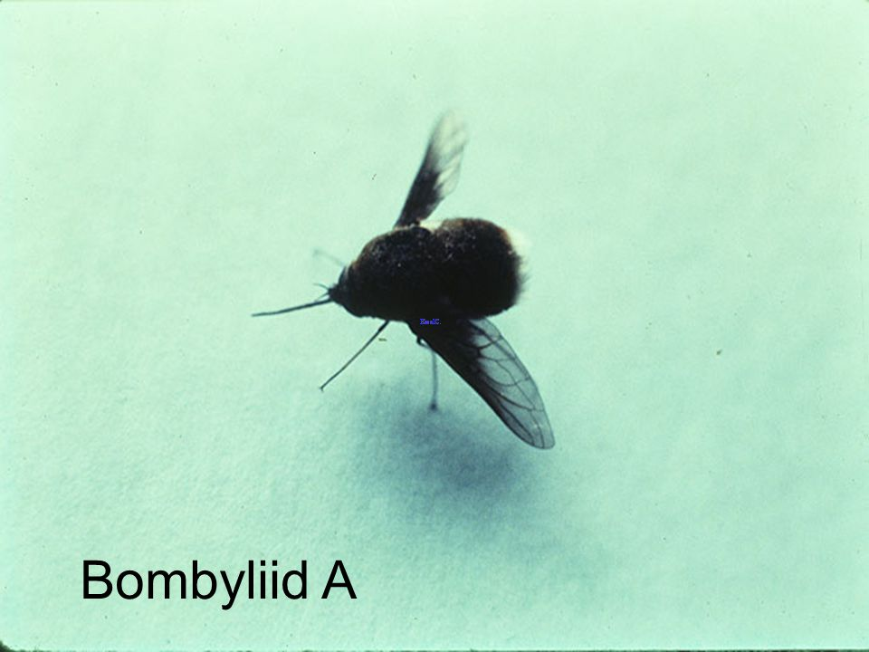 Bombyliid A