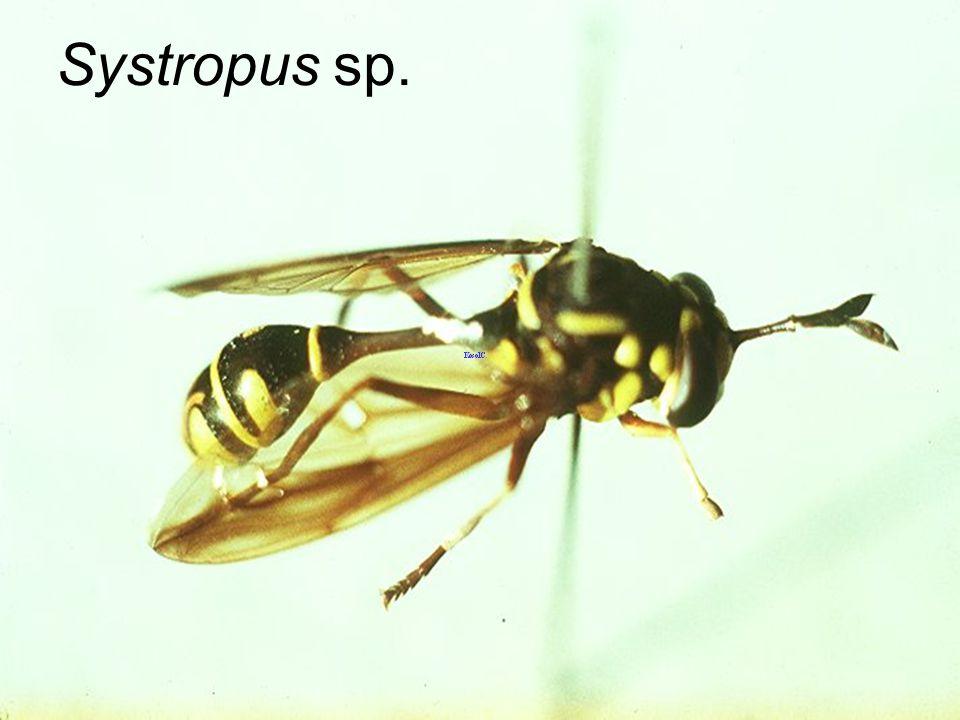 Systropus sp.