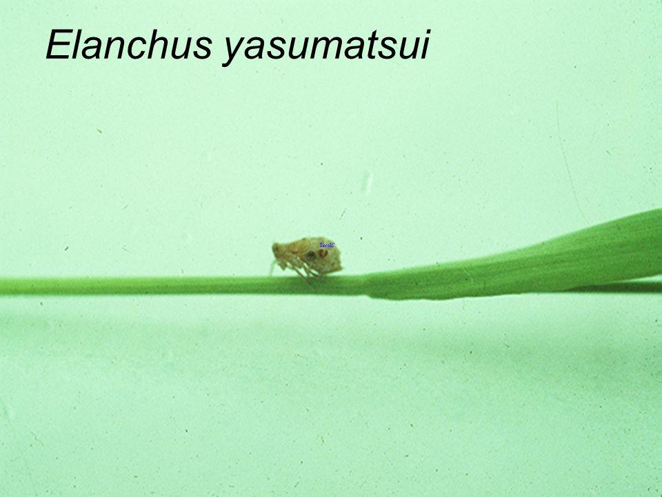 Elanchus yasumatsui