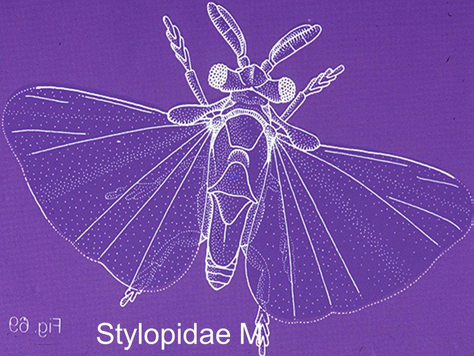 Stylopidae M