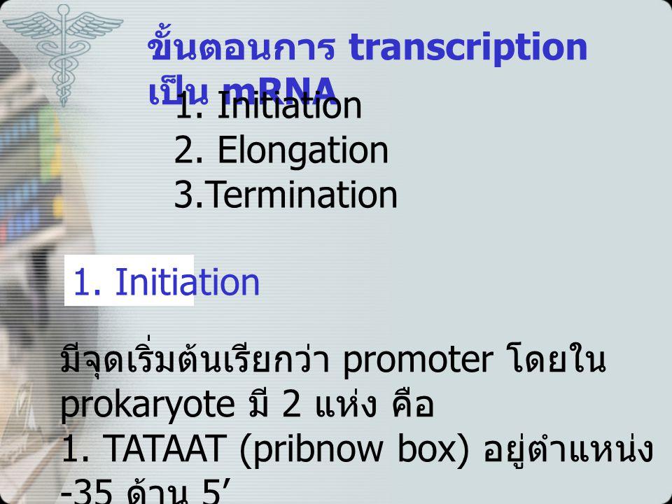 ขั้นตอนการ transcription เป็น mRNA