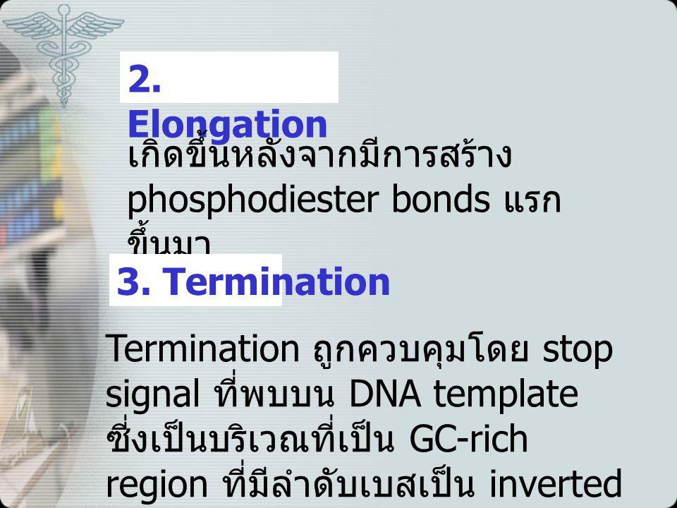 2. Elongation เกิดขึ้นหลังจากมีการสร้าง phosphodiester bonds แรกขึ้นมา. 3. Termination.