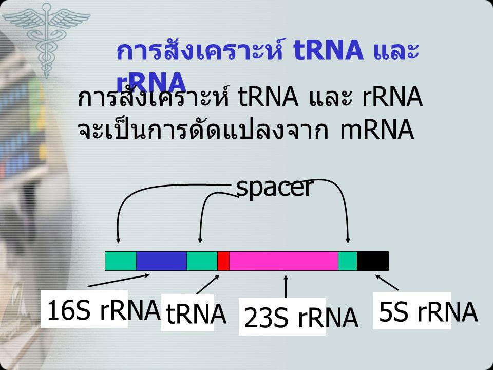 การสังเคราะห์ tRNA และ rRNA