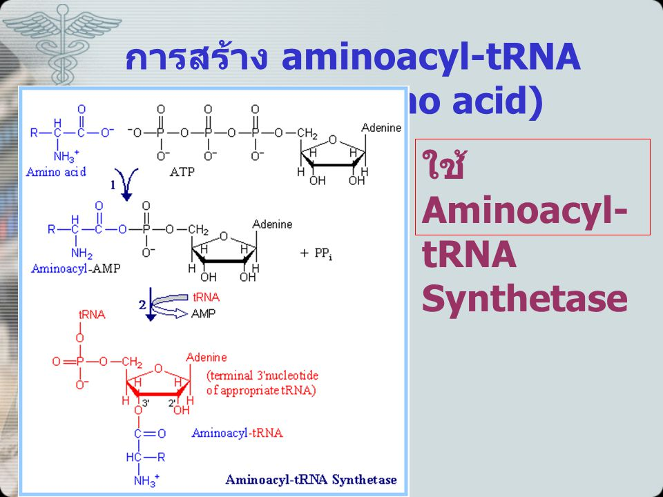 การสร้าง aminoacyl-tRNA (Activated amino acid)