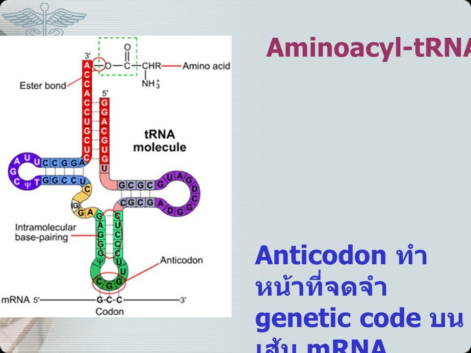 Aminoacyl-tRNA Anticodon ทำหน้าที่จดจำ genetic code บนเส้น mRNA